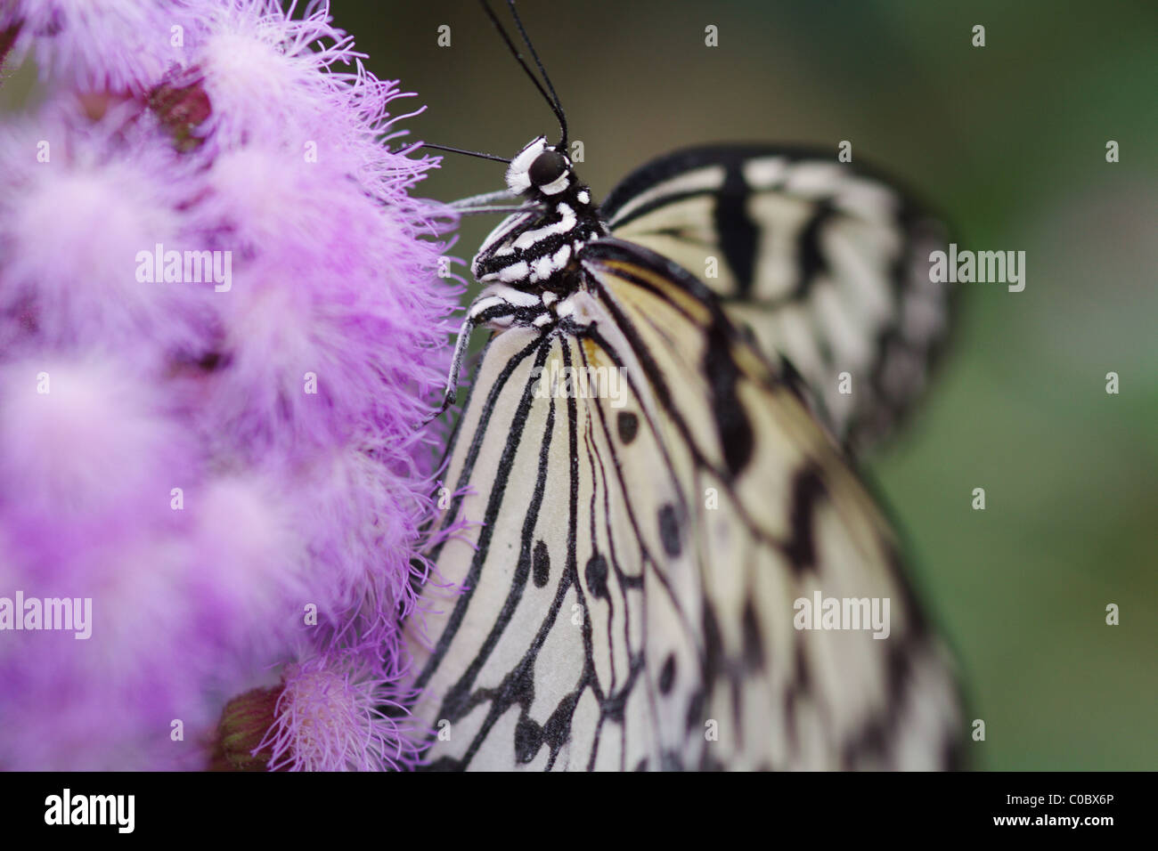 Idea Leuconoe Butterfly South Asia - Stock Image