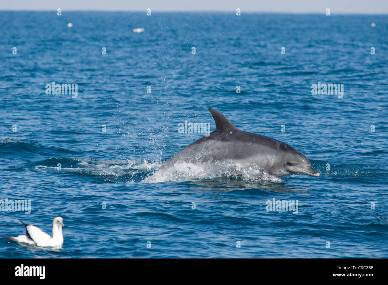 bottlenose dolphin, Tursiops aduncus, swimming at speed, wildcoast, South Africa - Stock Image