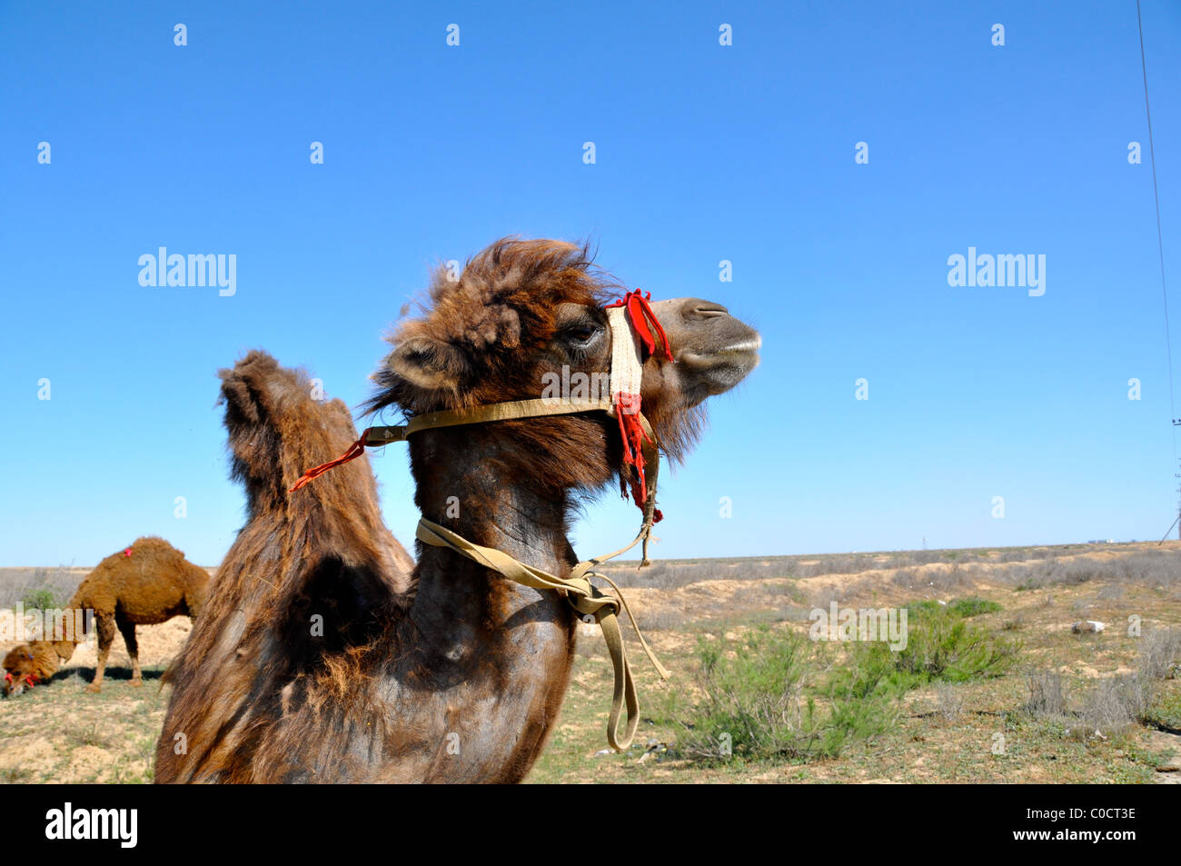Camel in Atyrau close to canal - Stock Image