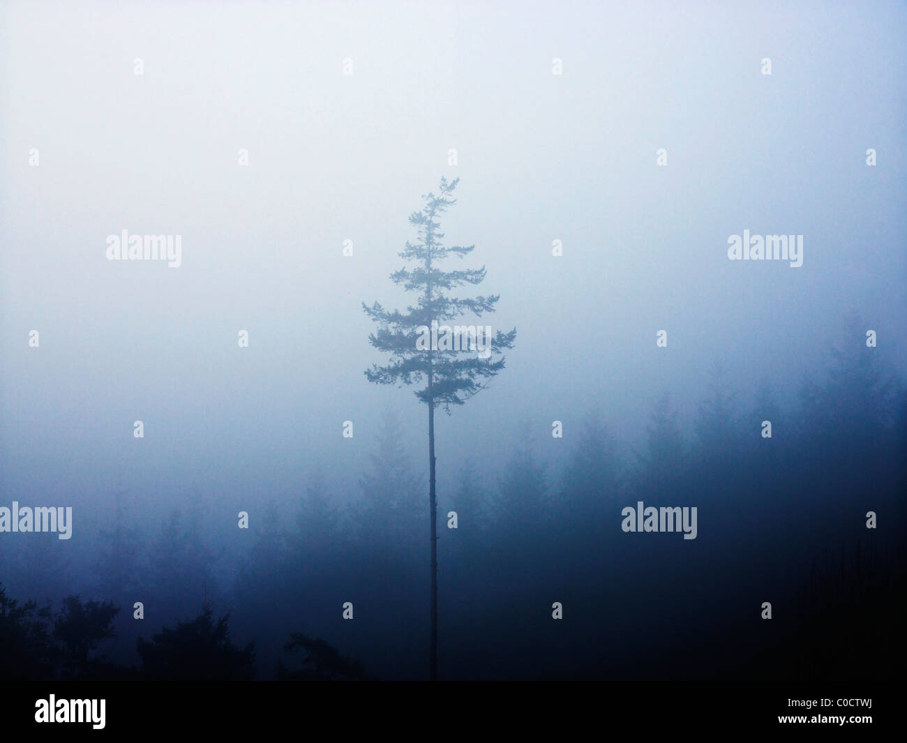A tall singular tree standing above a forest of fur trees. - Stock Image
