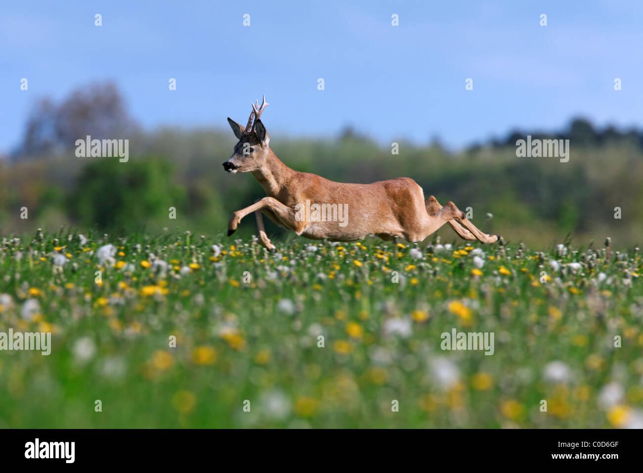 Roe deer (Capreolus capreolus) buck jumping in meadow with wildflowers, Germany - Stock Image
