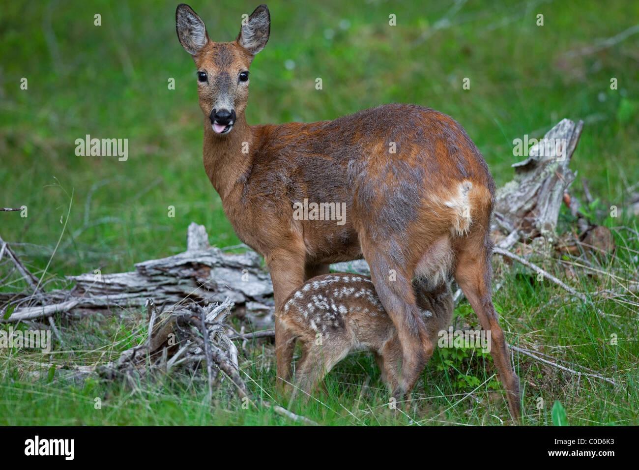 Roe deer (Capreolus capreolus) doe suckling fawn, Jaemtland, Sweden - Stock Image