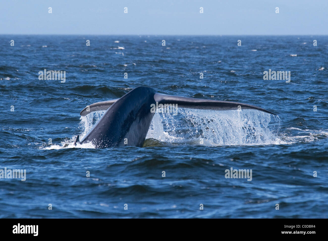 Blue Whale (Balaenoptera Musculus) adult animal fluking. Monterey, California, Pacific Ocean. - Stock Image