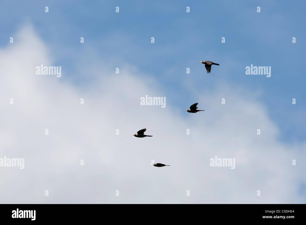 Finch-billed Myna (Scissirostrum dubium), flock in flight. - Stock Image