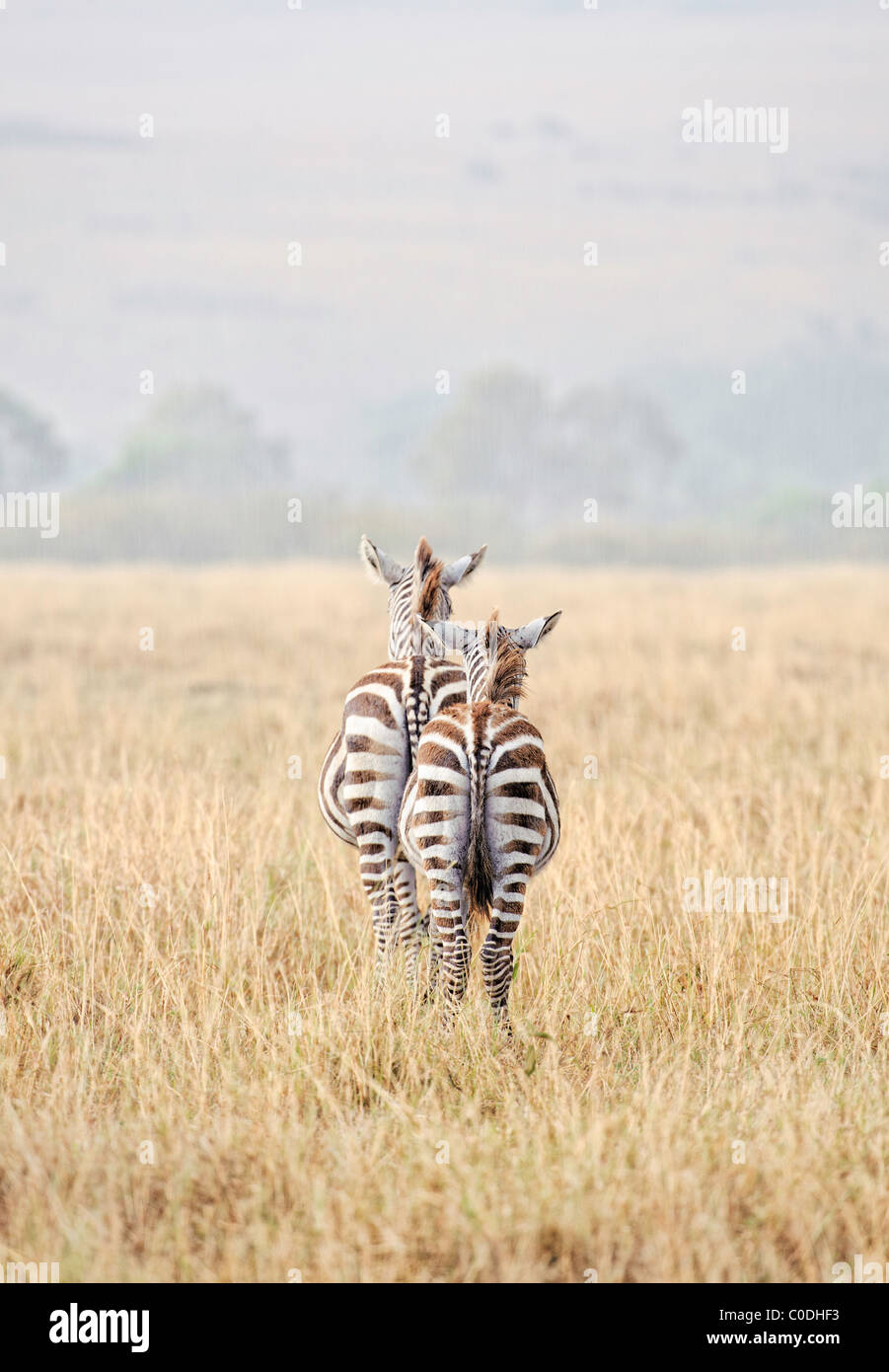 Two zebras are sitting out an afternoon rain shower on the Masai Mara in Kenya. - Stock Image
