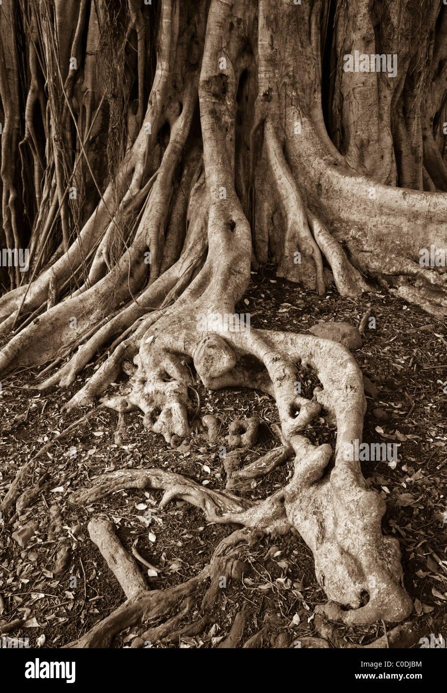 Banyan tree roots, Pipiwai Trail, Haleakala National Park Kipahulu District, Hana Coast, Maui, Hawaii. - Stock Image