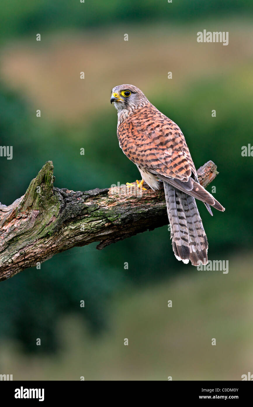Young male Kestrel (Falco tinnunculus) perched on dead tree branch, Yorkshire, UK, July 2009 - Stock Image