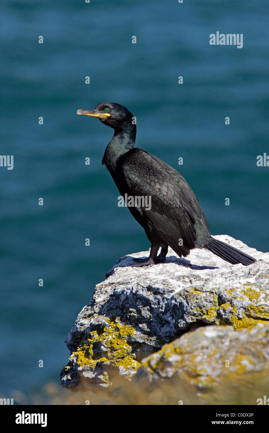 Shag (Phalacrocorax aristotelis) on cliff-top, Puffin Island, North Wales, UK, June 2010 - Stock Image