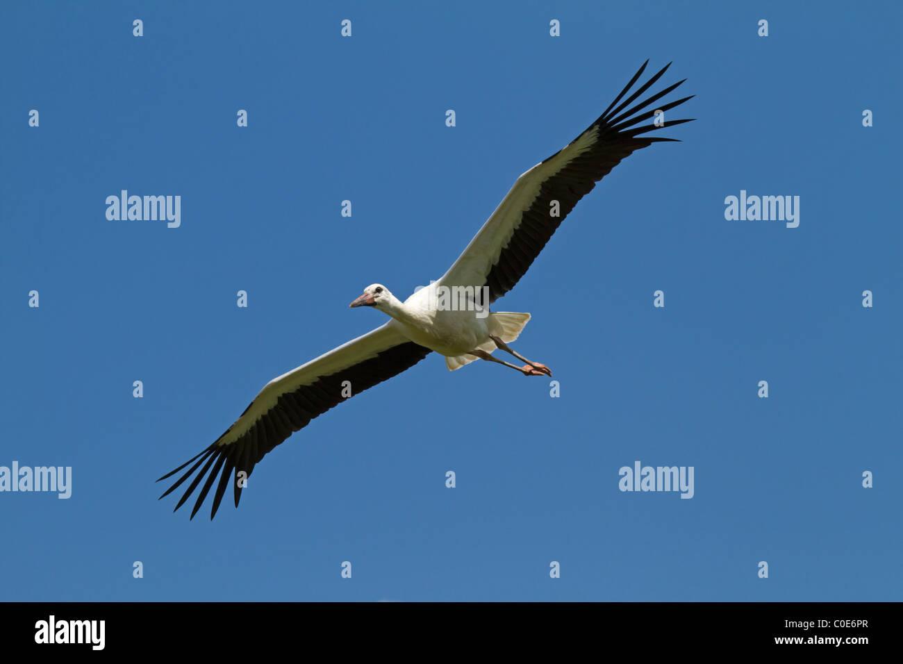 White stork (Ciconia ciconia) Stock Photo