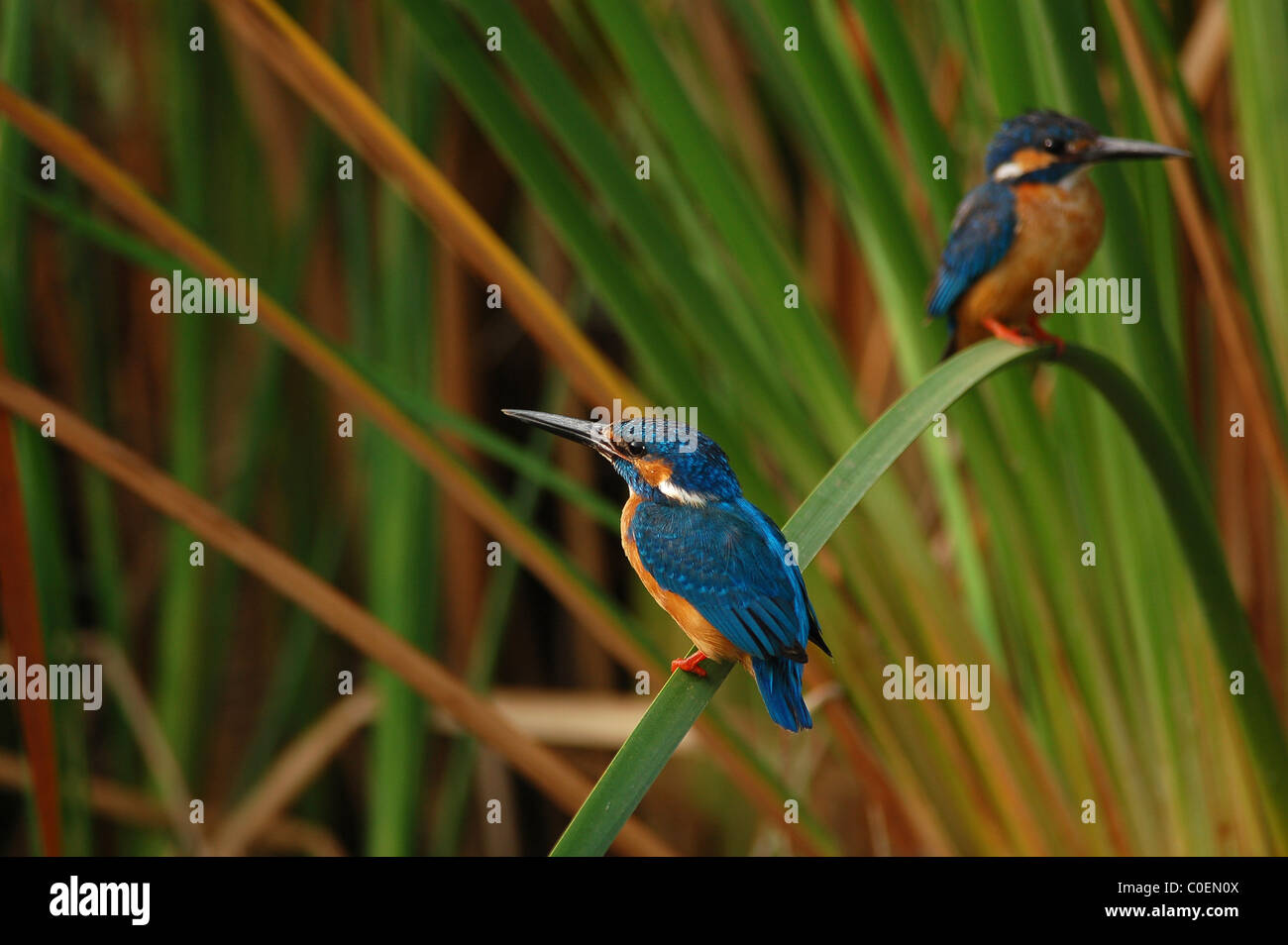 Two Common or Small Blue Kingfishers sitting on a single grass blade with a colourful background in a lake near - Stock Image