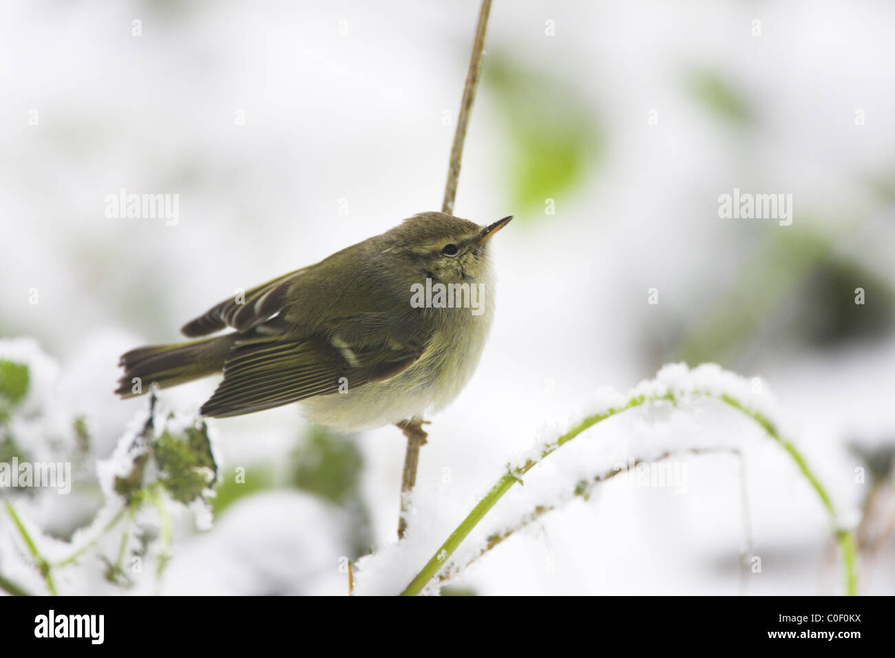 Hume's Leaf Warbler Phylloscopus humei foraging amongst snow-covered vegetation at Wells-next-the-Sea, Norfolk in Stock Photo