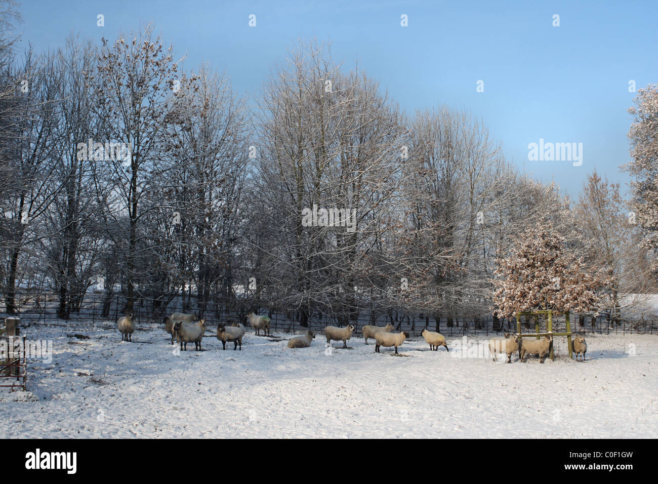 Sheep In Snow Calendar Stock Photos & Sheep In Snow