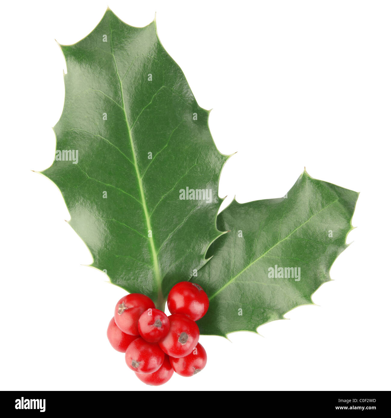 Holly isolated on white - Stock Image