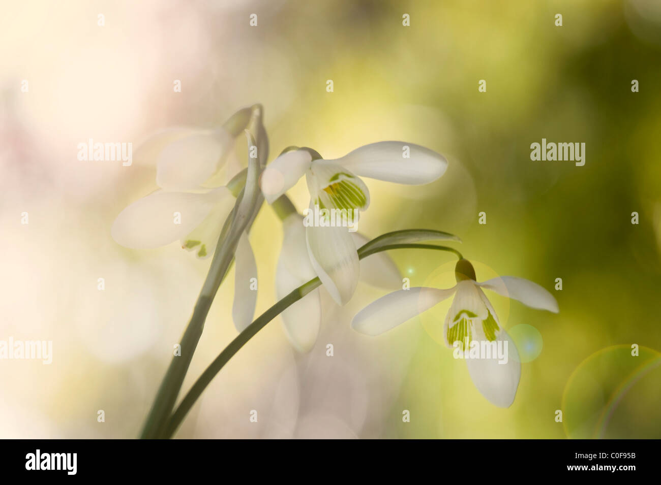 Common Snowdrops - Galanthus nivaliswith sunflre lansflare - Stock Image