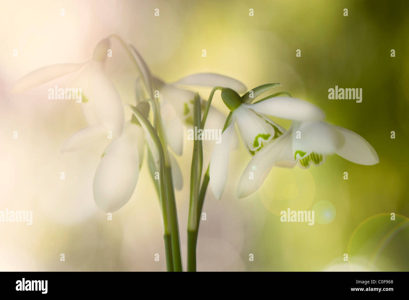 Common Snowdrops - Galanthus nivalis with Lensflare Sunflare - Stock Image