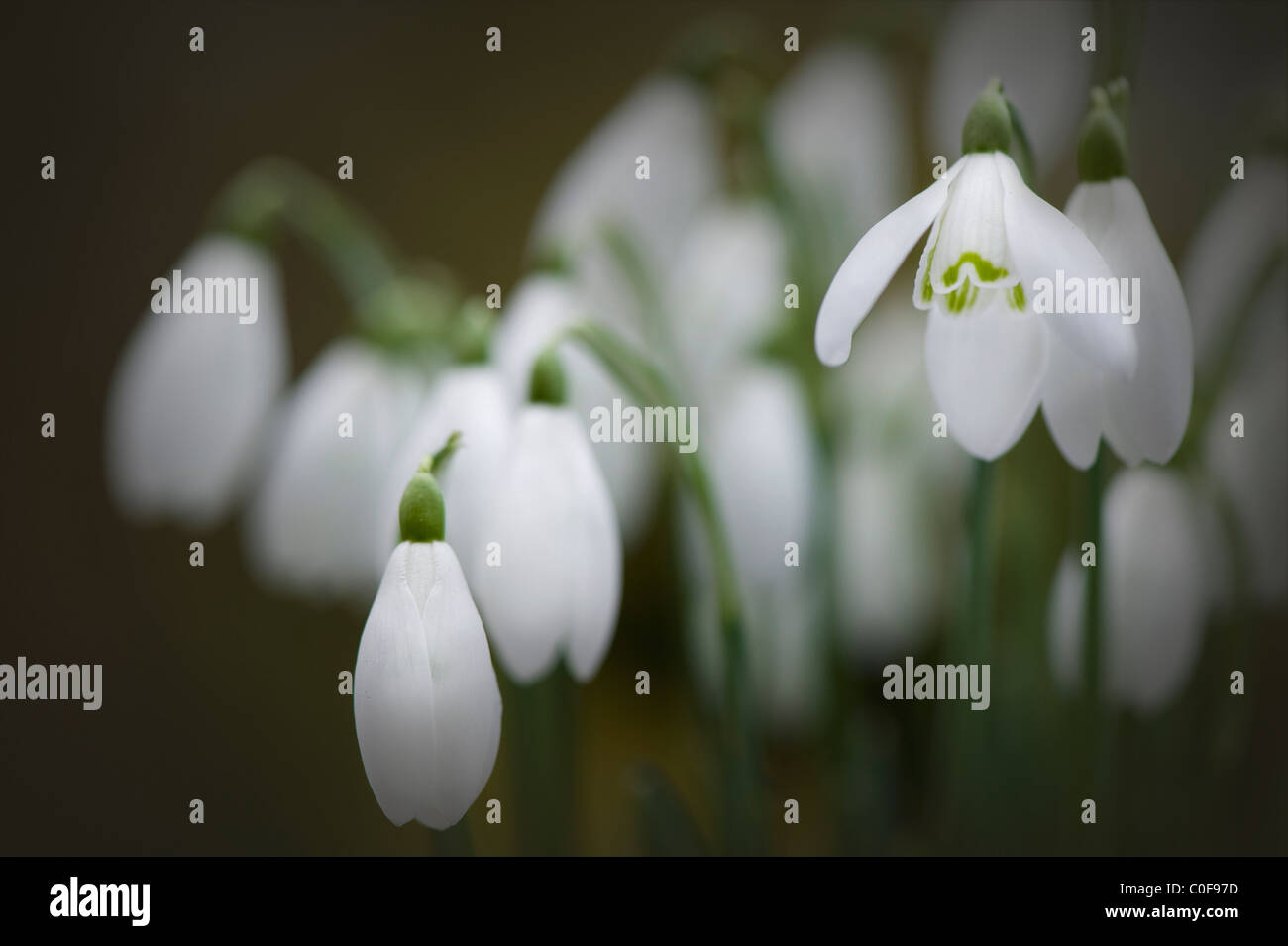 Common Snowdrops - Galanthus nivalis - Stock Image
