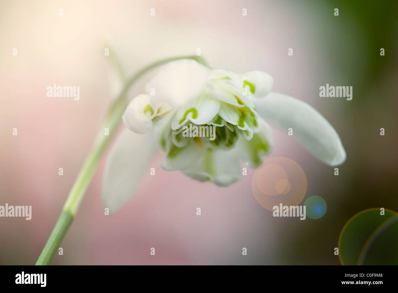 Double flowering Snowdrop - Galanthus nivalis f. pleniflorus 'Flore Pleno' - Stock Image