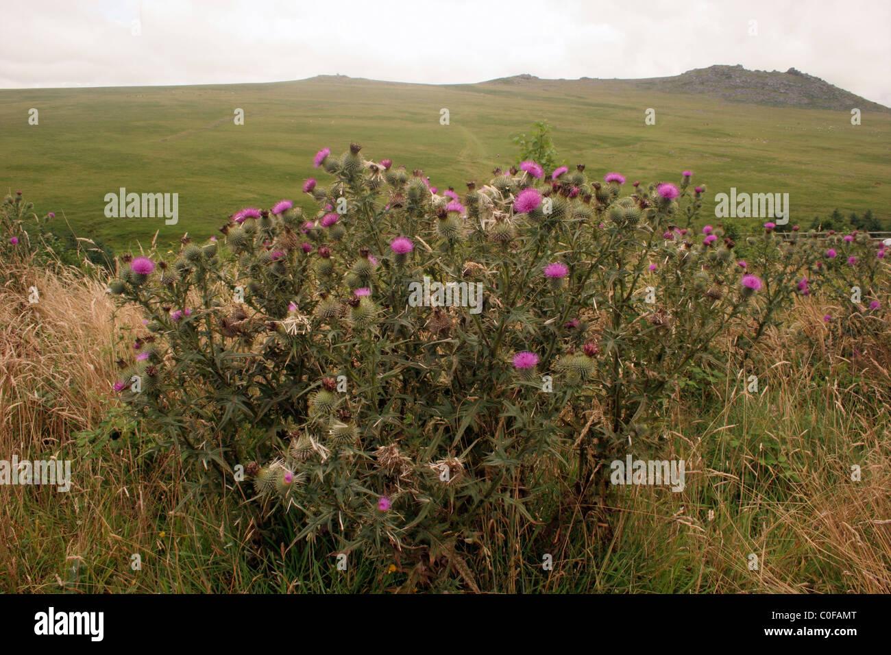 Spear thistle (Cirsium vulgare : Asteraceae), on moorland, UK - Stock Image