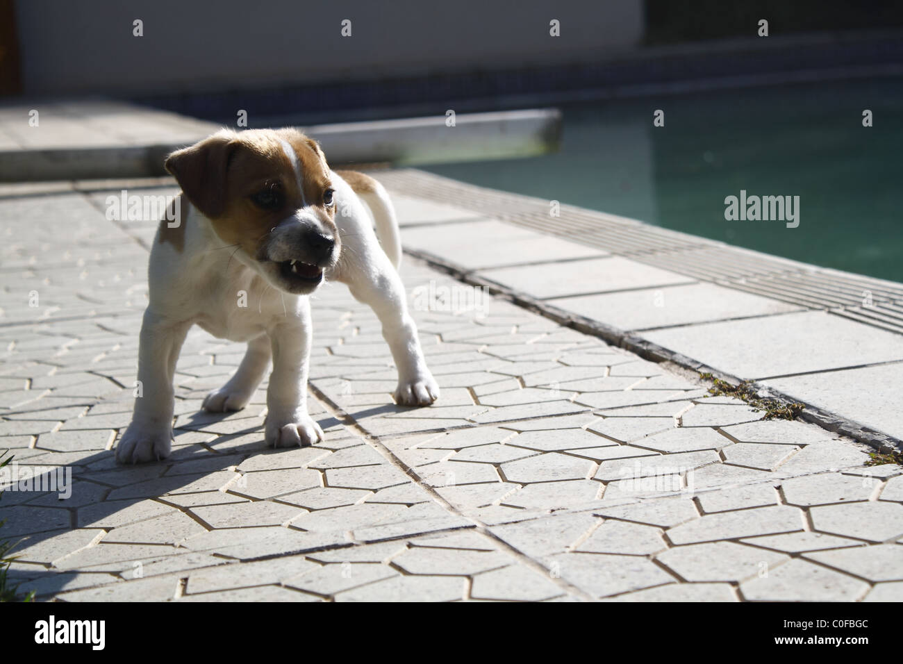 Puppy Growls, portrait Photo:Darryl Putter - Stock Image