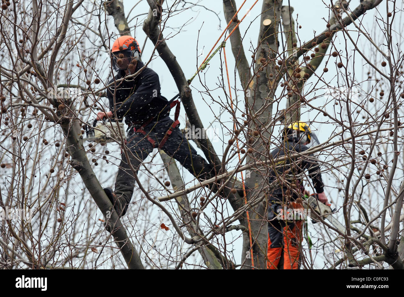 Tree surgeon trimming branches of a tree on the embankment of the River Thames in London - Stock Image