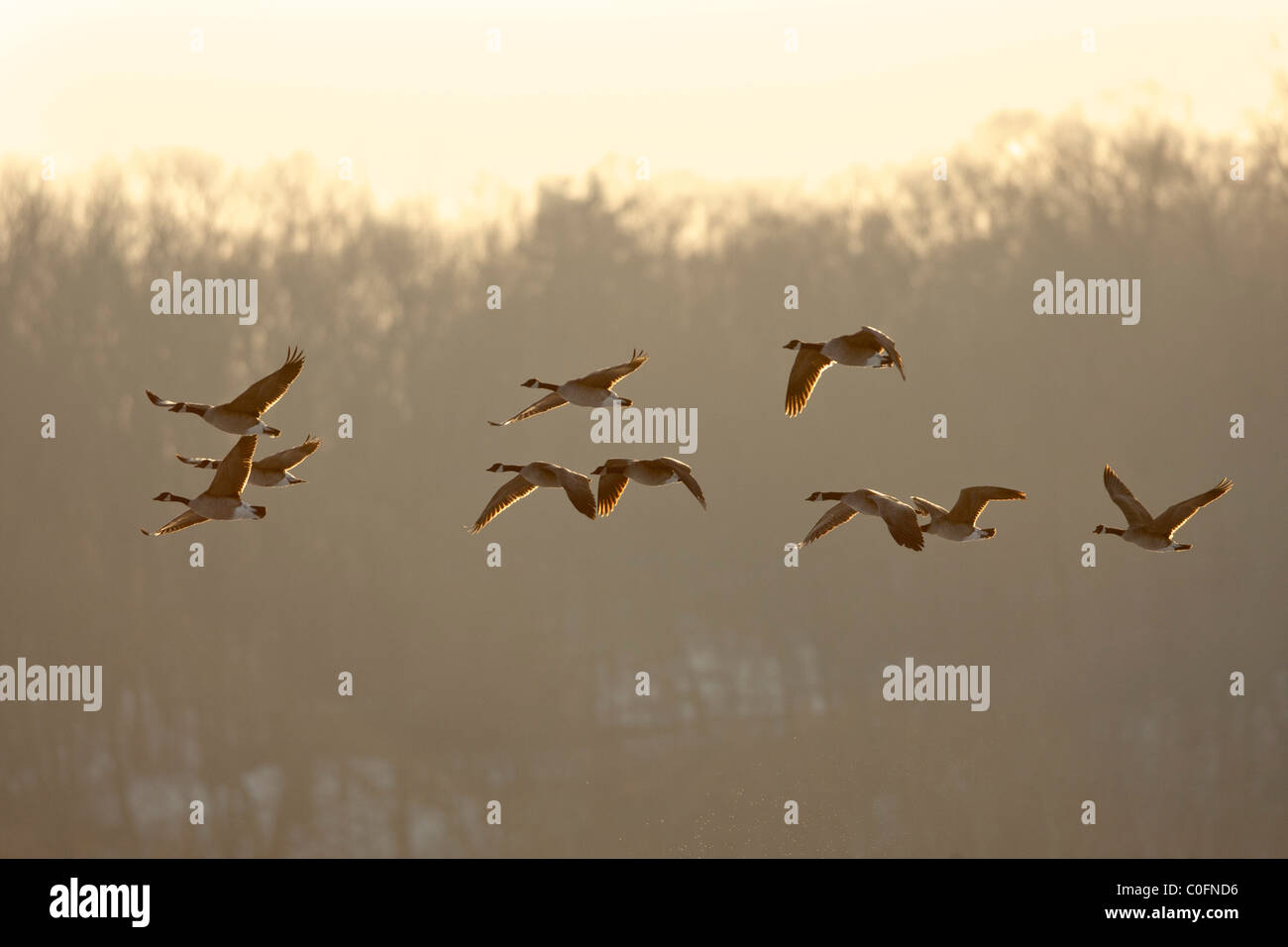 Canada Geese in Flight - Stock Image