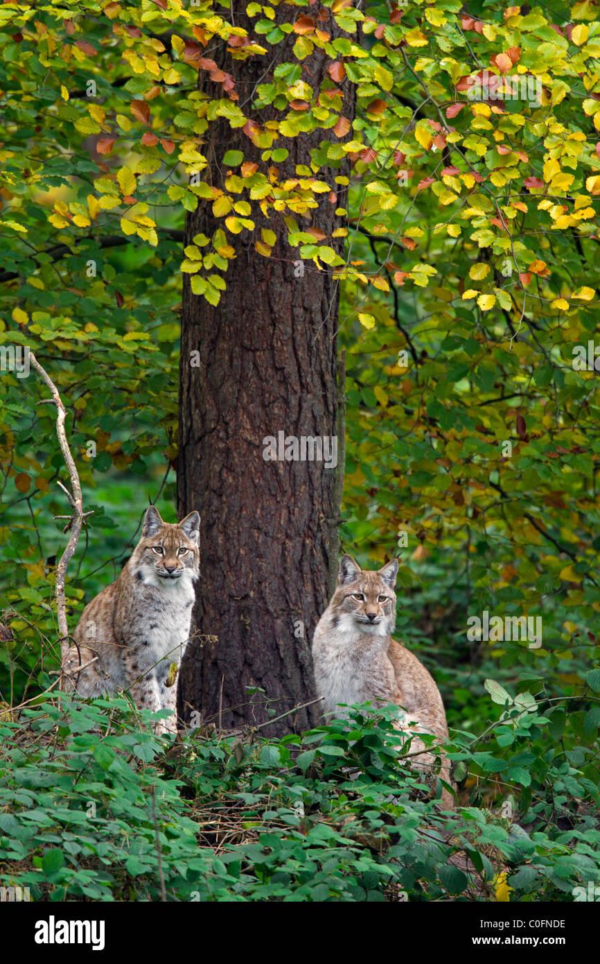 Eurasian lynx (Lynx lynx) couple in autumn forest, Germany Stock Photo