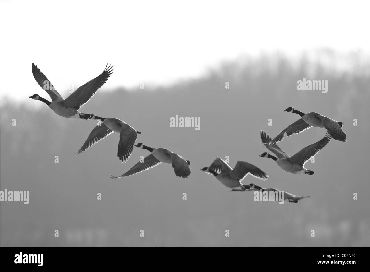 Canada Geese - Stock Image