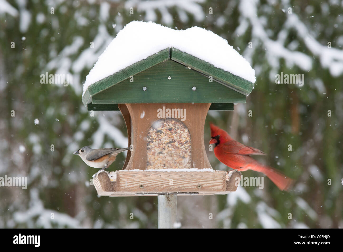 Northern Cardinal & Tufted Titmouse perched at Winter Bird Feeder with Snow - Stock Image