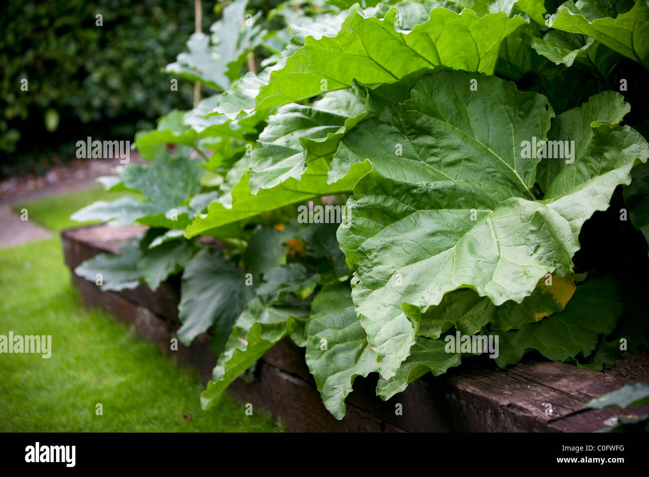 Peas growing in the summer time in an allotment or garden in Britian - Stock Image