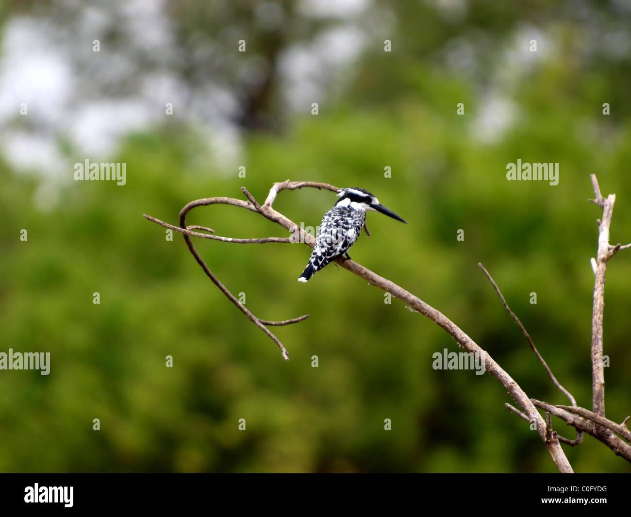Pied kingfisher - Stock Image