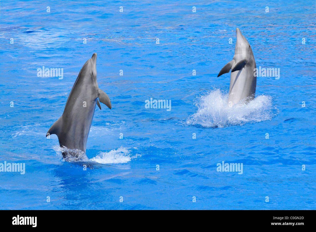 Two bottlenose dolphins (Tursiops truncatus) standing on blue water - Stock Image