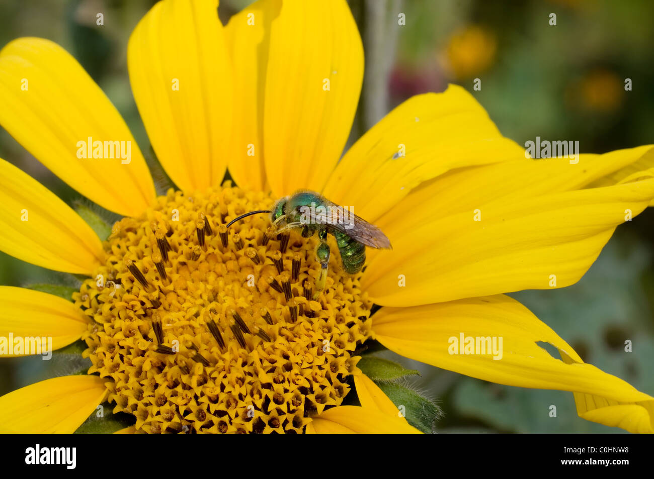 Sweat bee (Halictidae) feeding from a Mexican sunflower (Tithonia tubaeformis) - Stock Image
