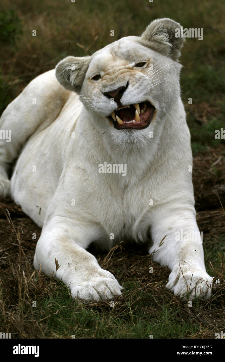 ALBINO WHITE LIONESS SNARLING SEAVIEW LION AFRICA SEAVIEW PORT ELIZABETH EASTERN CAPE SOUTH AFRICA SEAVIEW LION - Stock Image