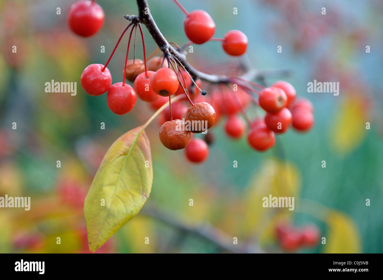Close up image of crabapple fruits, Talus Rosaceae, hanging from a tree. USA. - Stock Image