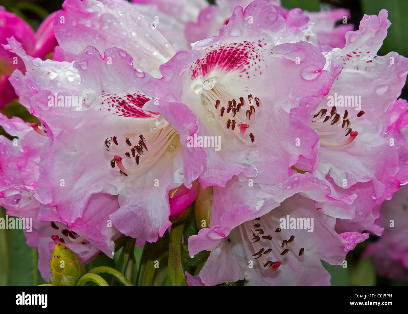 THe Pink Flowers of the Rhododendron - Stock Image
