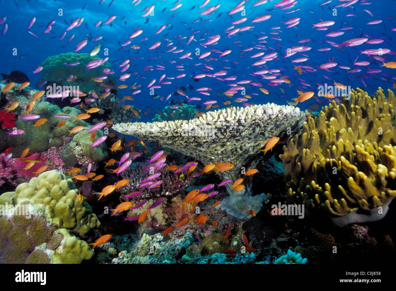 Tropical coral reef, Fiji, Pacific Ocean - Stock Image