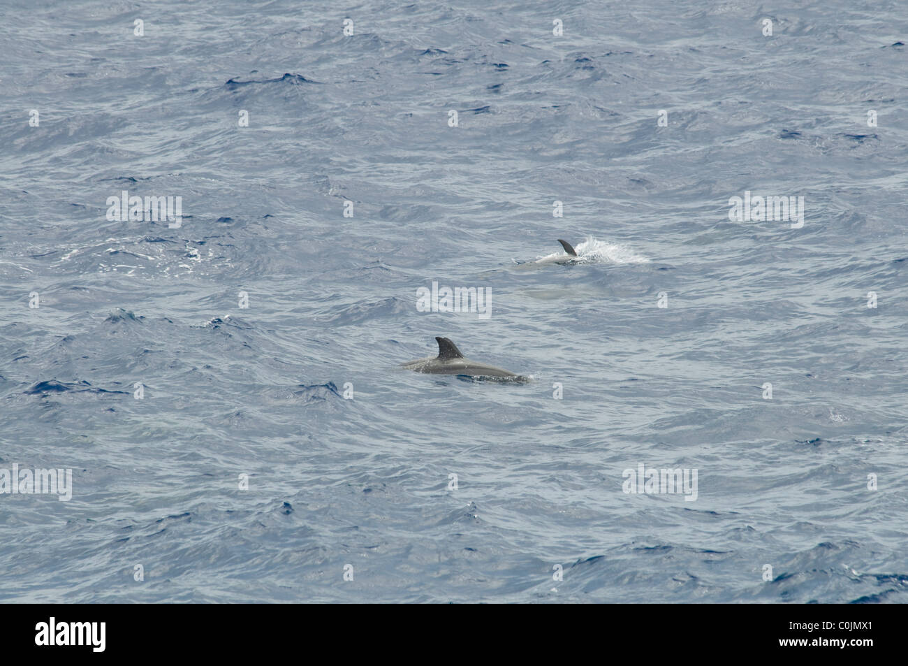 Spinner Dolphins are common near the shores of the Pacific Islands.  Delfine schwimmen häufig an den Küsten - Stock Image