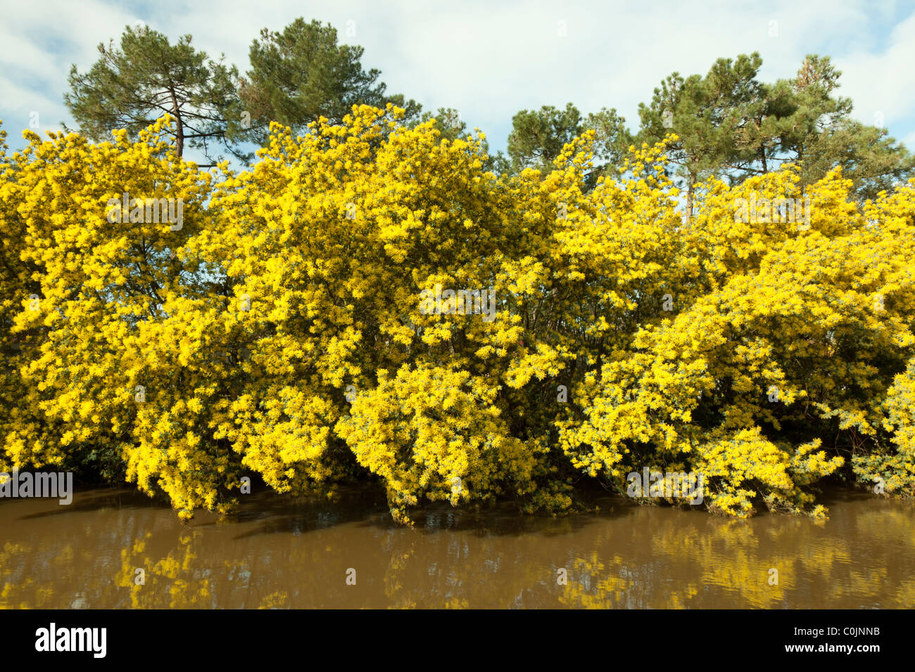 Flowering Acacia Trees Stock Photos Flowering Acacia Trees Stock