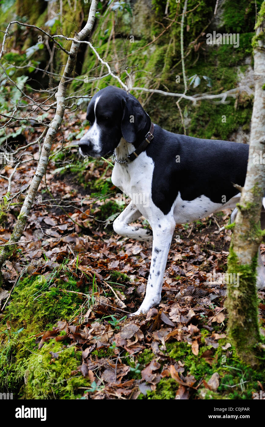 Stock photo of an English pointer dog pointing. - Stock Image