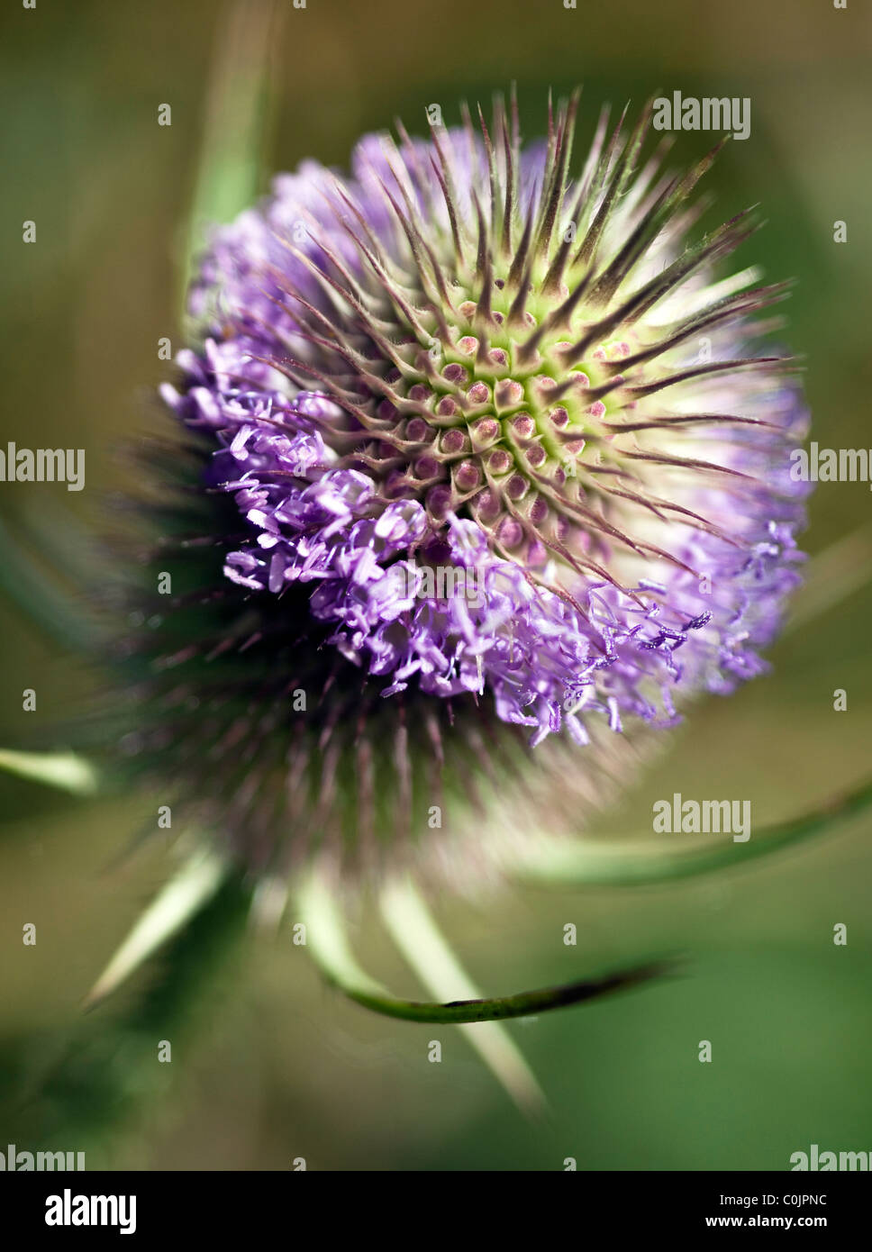 Macro image  of mauve thistle head  on location shot with shallow depth of field - Stock Image