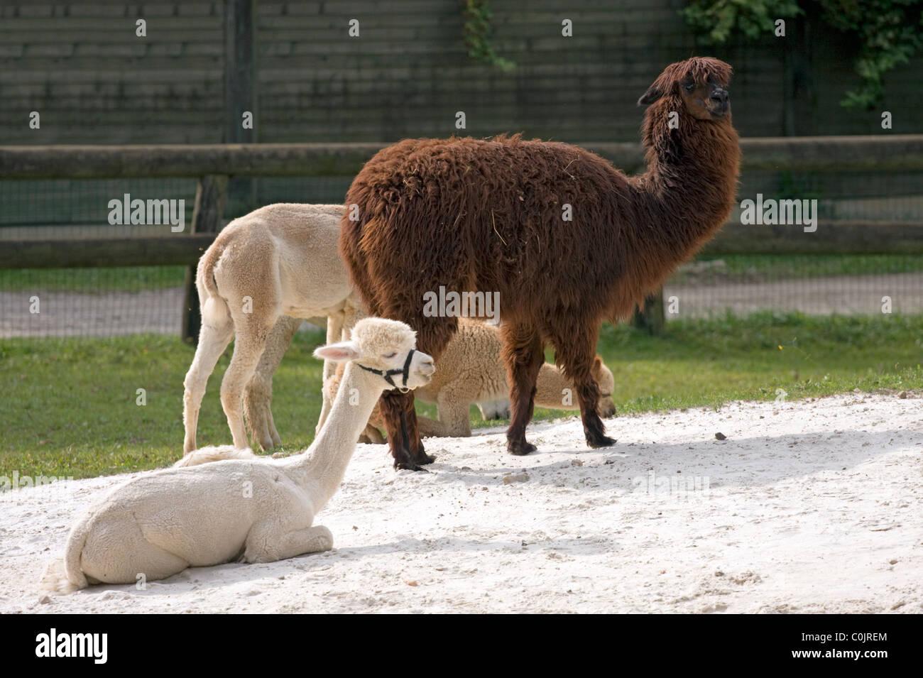 Alpaka (Lama Pacos) family with small baby animal. - Stock Image