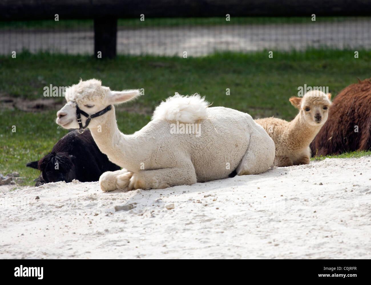 Alpaka (Lama Pacos) family with small baby animals - Stock Image