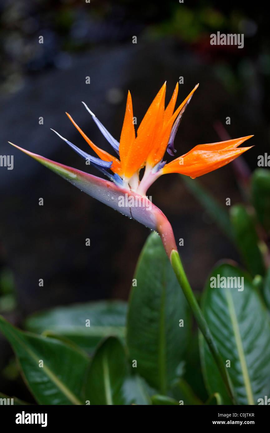Bird Of Paradise, Hawaii - Stock Image