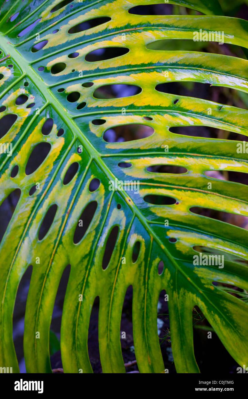 Monstera Leaf, Hawaii - Stock Image