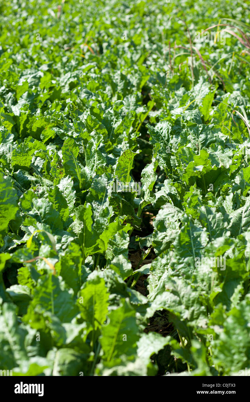 Agriculture agricultural field Sugar beet beetroot - Stock Image