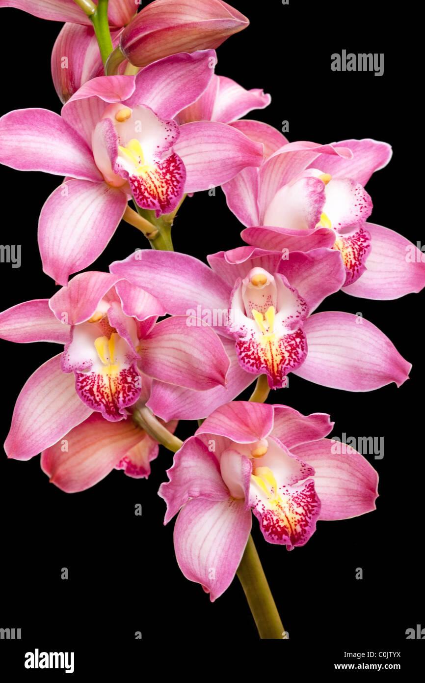 cymbidium hybrid orchid against black background - Stock Image