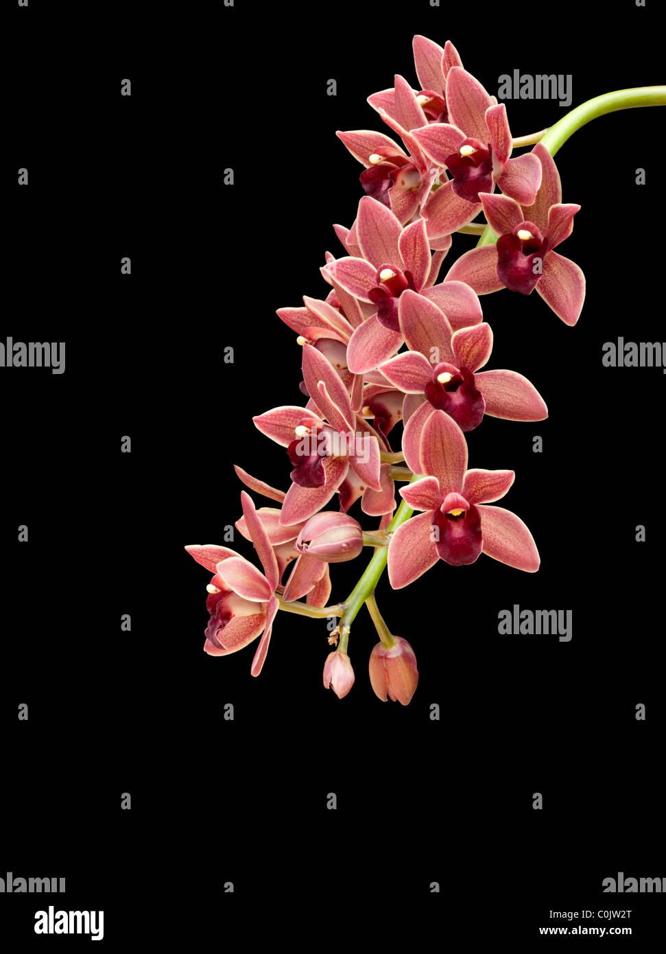 Cascading cymbidium orchids against black background - Stock Image