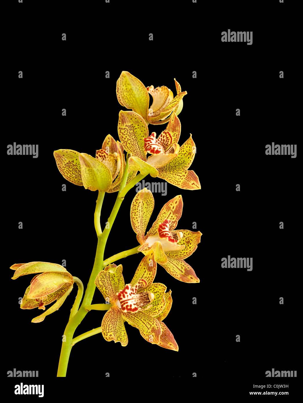 Via Horizons 'Simplicity' cymbidium orchid - Stock Image