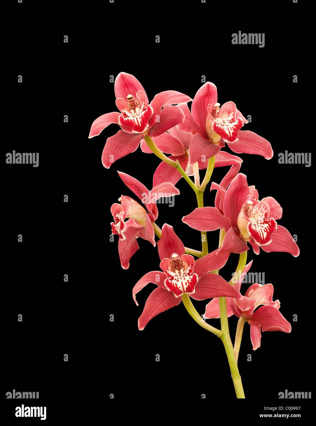 Victor cymbidium orchids against black background - Stock Image