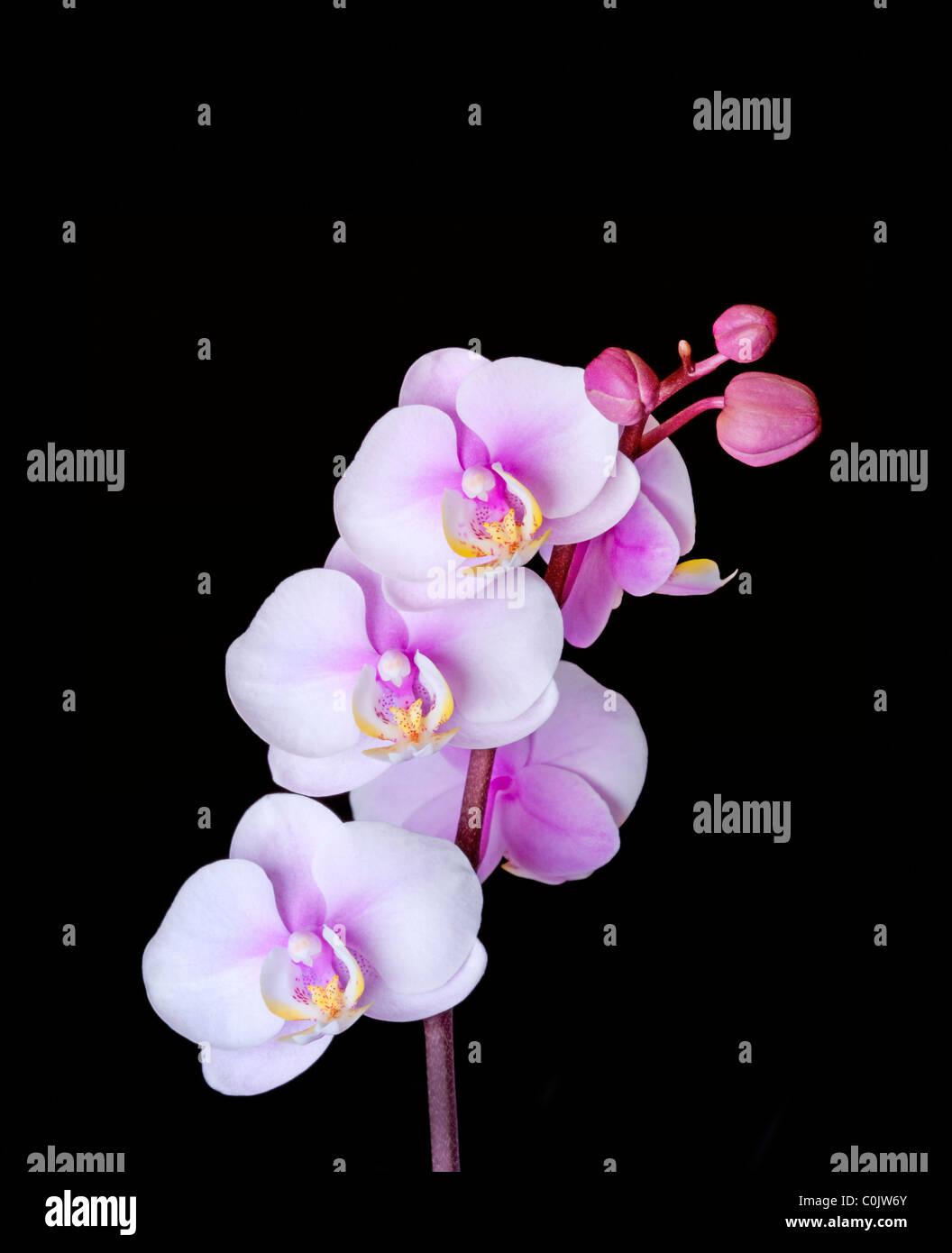 Closeup of Phalaenopsis orchid - Stock Image